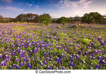 land, texas, heuvel, bluebonnets
