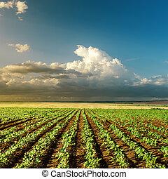 landbouw, groen veld, op, ondergaande zon