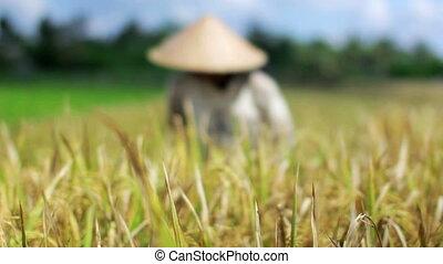 landbouw, werkmannen , op, rijst veld