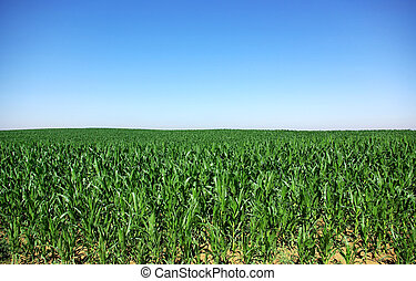 landbouwkundig, koren, landscape, akker