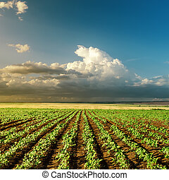 landbrug, grønnes felt, på, solnedgang