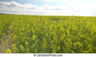 landcape view of beautiful rapeseed field - beautiful...