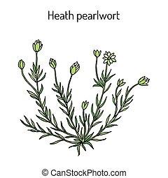 lande, médicinal, pearlwor, subulata, ou, sagina, plante,...