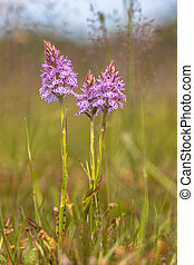 lande, spotted-orchid, sauvage