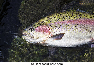 Landed Fish - Large rainbow trout being landed in shallow...