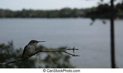 landen, perch., colubris), rusten, ruby-throated, vrouwlijk, (archilochus, het zoemen, vogel