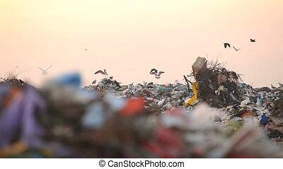 Landfill and birds. Panorama