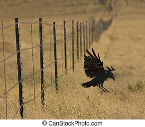 Landing Crow - Crow jumping off fence