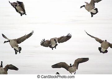 Landing geese - geese in flight
