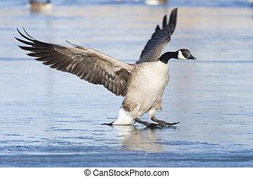 Landing Goose - Landing Canada Goose on a frozen pond