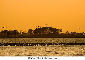 Landing strip - Silhouettes of five Snow geese landing in...