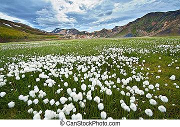 Landmannalaugar - Field of cotton grass in a valley...