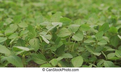 landscape., соя, зеленый, поле, ripening, сельскохозяйственное
