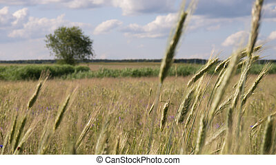 landscape and ears of barley