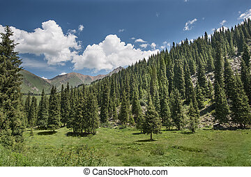 landscape  aspen tree in  mountains
