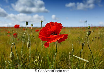Landscape close up view of a single red poppy flower, in a field of barley, and other poppies in the distance, with a bright blue sky.