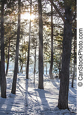 cold winter forest in the sunlight