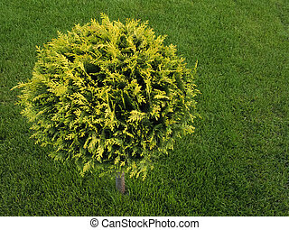 Landscape design. Beautifully trimmed thuja on a background of juicy green grass