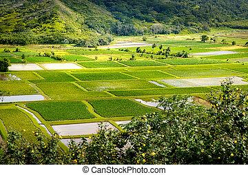 Landscape detail of green taro fields in Hanalei valley, Kauai