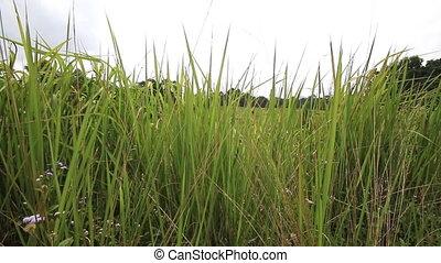 Landscape green grass field, Khao Yai National park,...