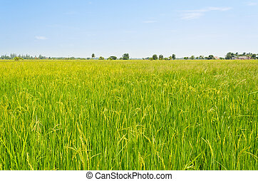 Landscape green rice fields