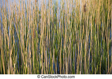Landscape - Green Rushes