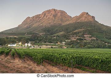 Landscape image of a vineyard, Stellenbosch, South Africa. -...