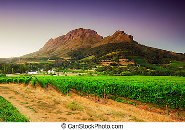 Landscape image of a vineyard, Stellenbosch, South Africa. -...