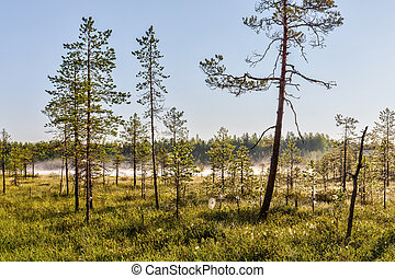 pine forest in the swamp