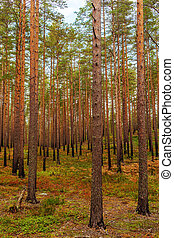 Landscape in the northern pine forest