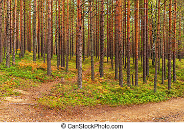 Landscape in the pine forest
