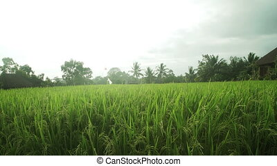 Landscape of a beautiful green field with rice stalks...