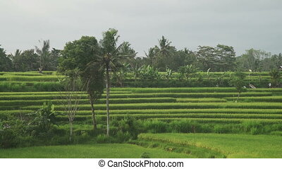 Landscape of a beautiful green field with rice Indonesia...