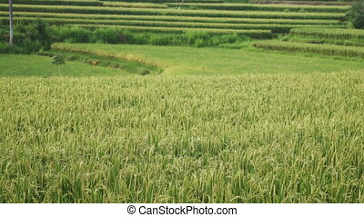 Landscape of a beautiful green field with rice stalks swaying in wind