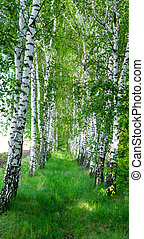 Landscape of a birch grove in spring