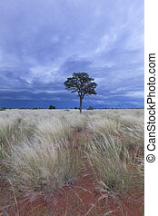 Landscape of a lone tree in the Kalahari with blue storm clouds approaching