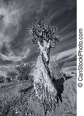 Landscape of a Quiver Tree with blue sky and thin clouds in dry desert artistic conversion