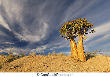 Landscape of a Quiver Tree with blue sky and thin clouds in dry desert