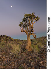 Landscape of a Quiver Tree with pastel sky and moon in dry desert
