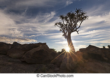 Landscape of a Quiver Tree with sun burst and thin clouds in dry desert