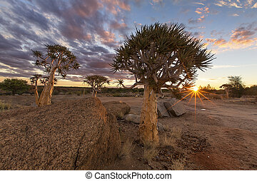 Landscape of a Quiver Tree with sun burst and thin clouds in dry desert artistic conversion