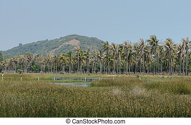 Asian countryside of coconut palm trees plantation