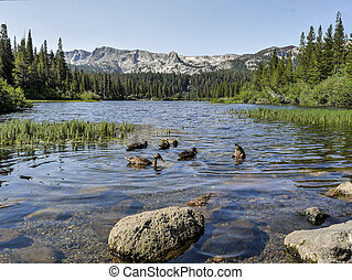 landscape of ducks swimming in a lake at Mammoth lakes area with a view to the mountains