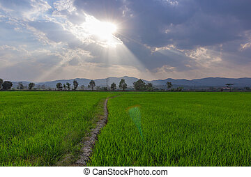 Landscape of Green rice field with mountain on background