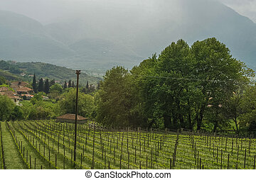 Landscape of olive field on cloudy mountains background