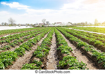 Landscape of plantation field of young potato bushes after watering. Fresh green greens. Agroindustry, cultivation. Farm for growing vegetables. Plantation on fertile Ukrainian black soil.