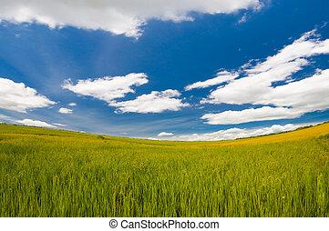 rice farm under the blue sky