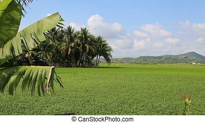 Landscape of rice farm