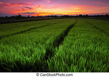 Landscape of rice seedlings in the evening