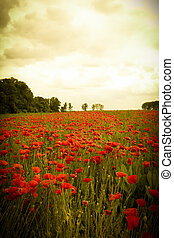 Landscape of romantic poppy field with red wildflowers